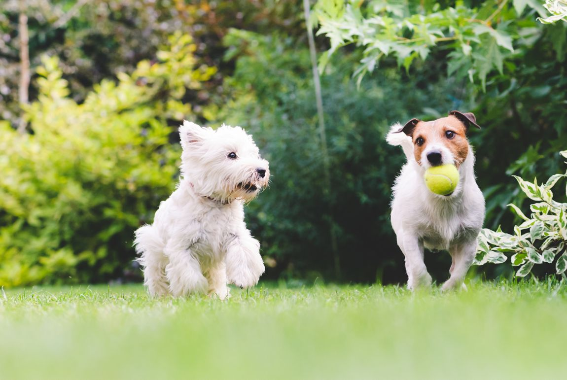 Dogs, pets, playing, ball, summer