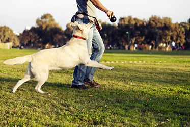 Labrador and Trainer with Dog Chew Toy at Park