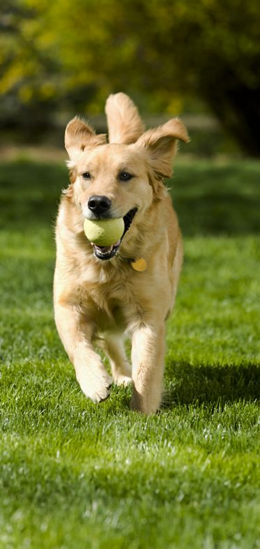 "A two year old female Golden Retriever playing fetching by returning the ball. ""Missy"""
