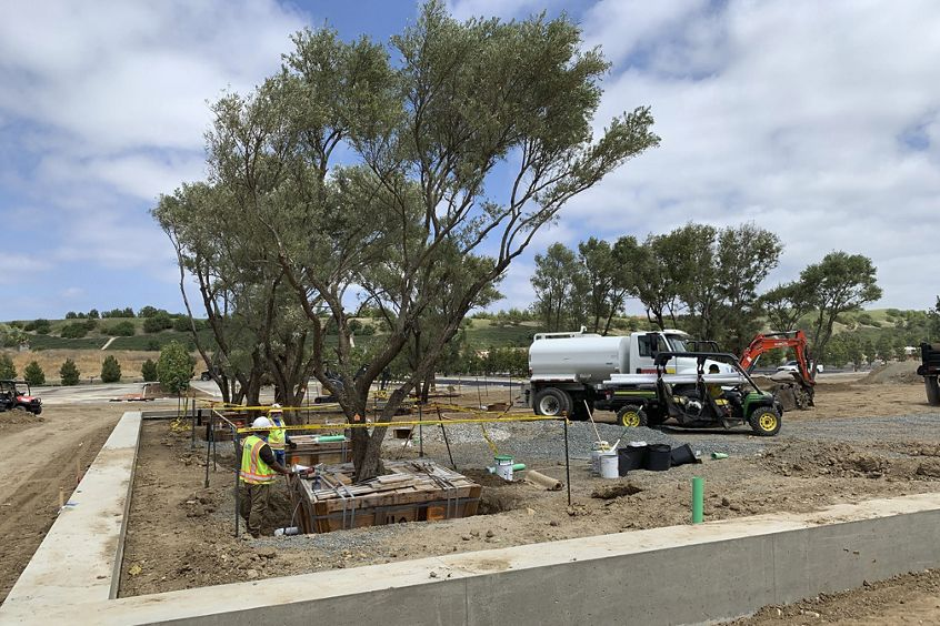 Olive trees are planted throughout the campus to provide an oxygen-rich environment